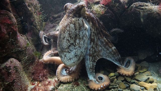 octopus vs squid